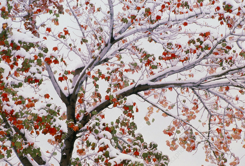 Snow-covered autumnal red maple tree