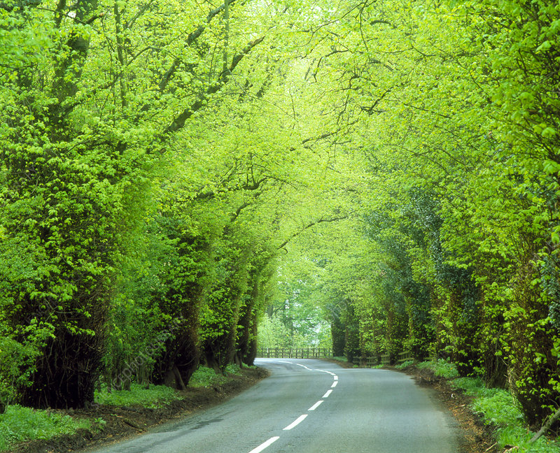 Lime trees (Tilia sp.) lining a road