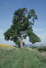 Beech tree in June