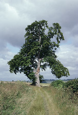 Beech tree in July