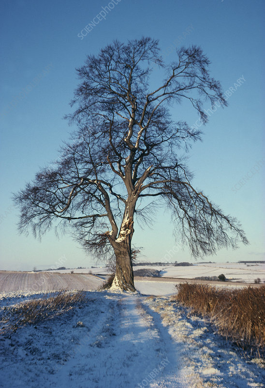 Beech tree in December