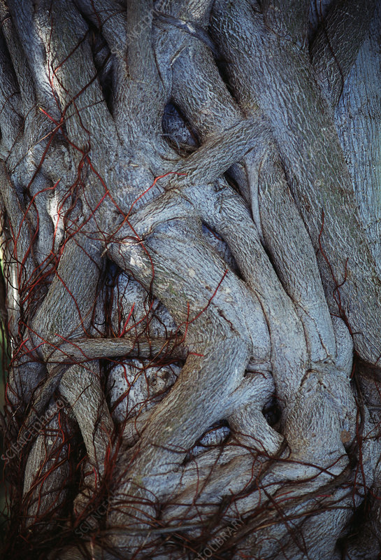 Tangled tree trunks