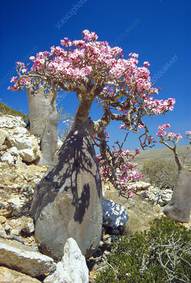 Desert rose tree