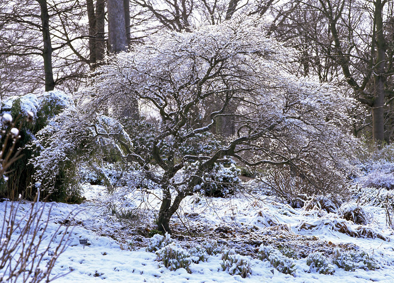 Japanese maple tree in snow