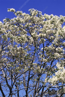 Chinese fringe tree in bloom