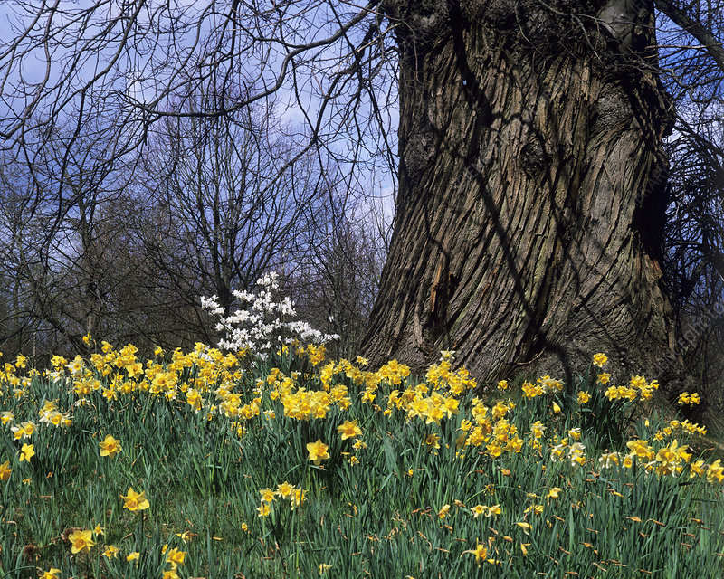 Sweet chestnut tree and daffodils