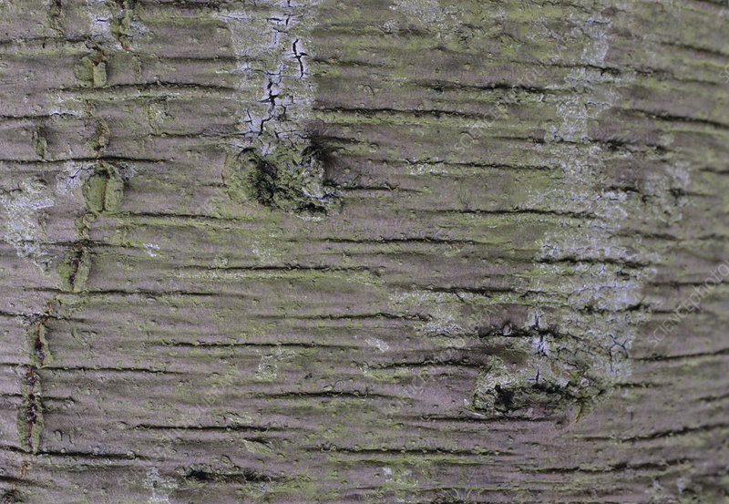 Monkey Puzzle tree bark