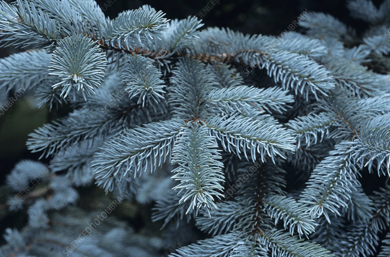 Colorado blue spruce branches