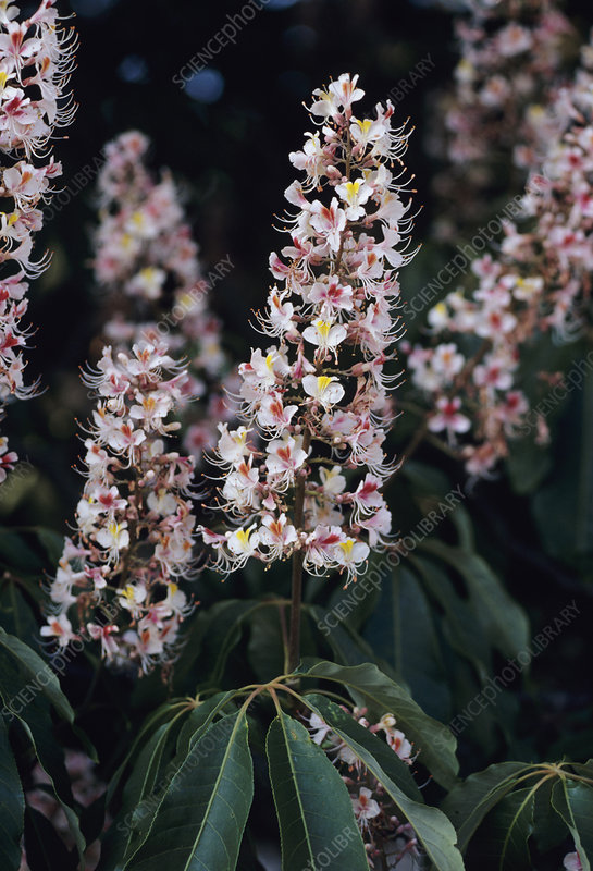 Indian horse chestnut flowers