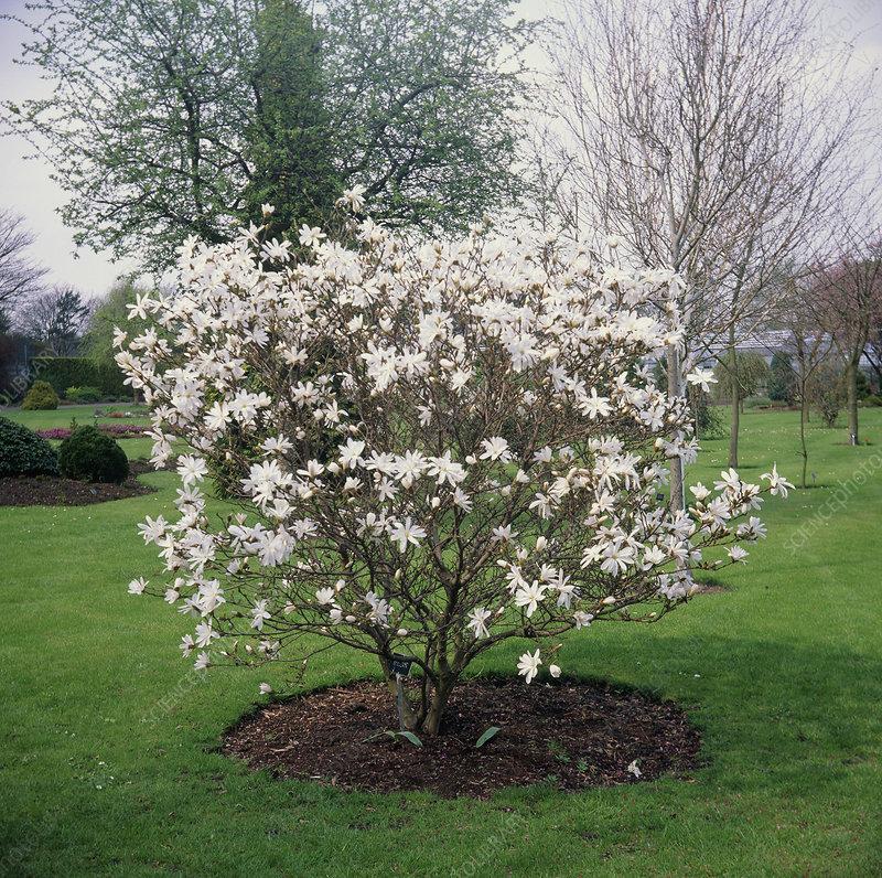 Star Magnolia Tree Stock Image B6010331 Science Photo Library