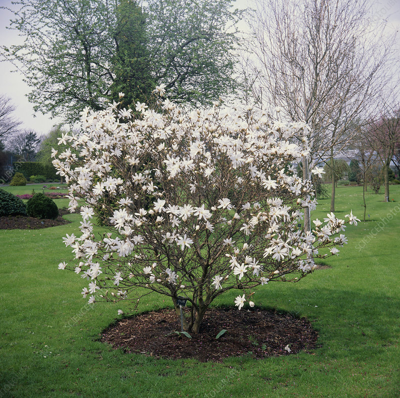 star magnolia tree pictures. star magnolia tree pictures.
