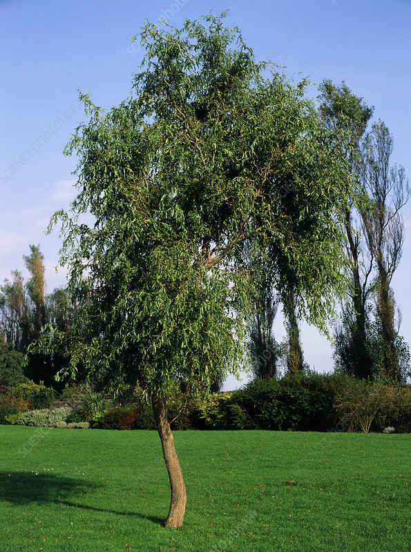 Chinese curly willow tree