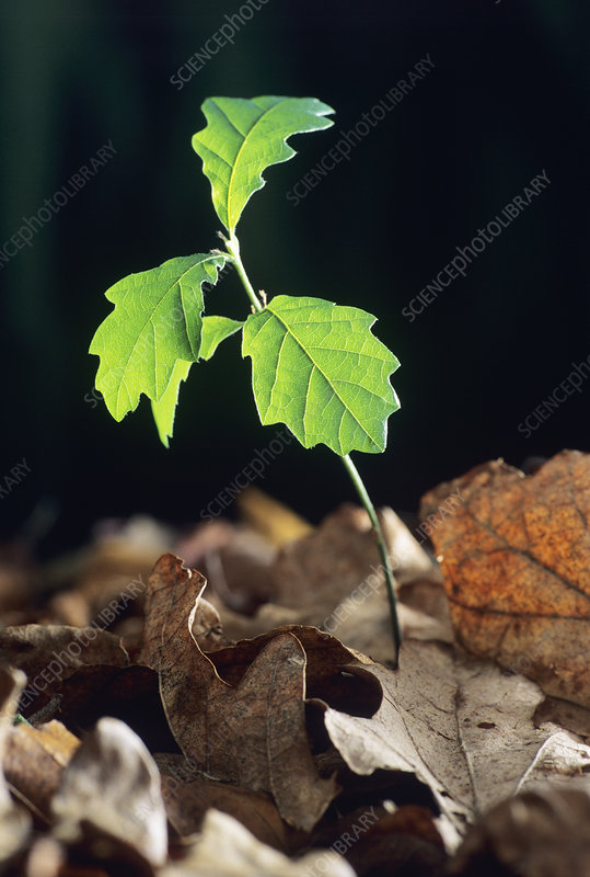 Oak tree (Quercus sp.) seedling