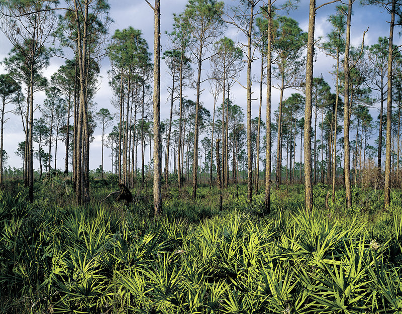 Pines and Palmettos in the Everglades