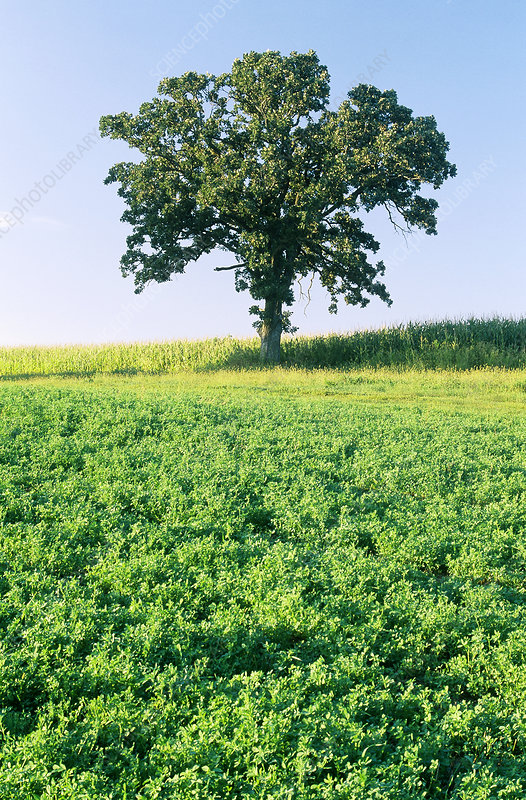 Oak Tree in Field, Minnesota