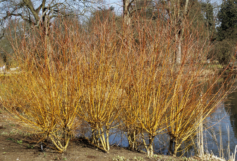 Willow 'Yelverton' stems