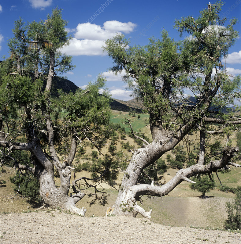 Arid adapted tree
