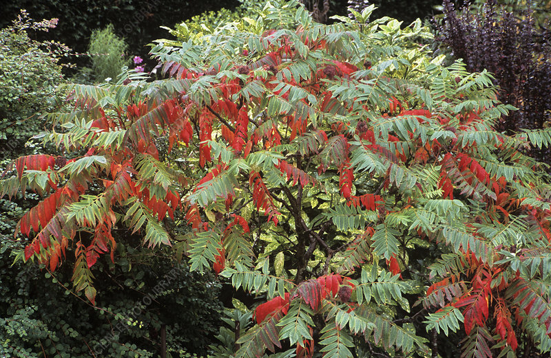 Stag's horn sumach (Rhus typhina)