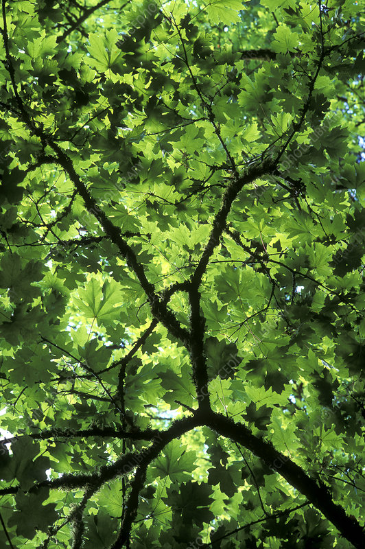 Bigleaf maple (Acer macrophyllum)