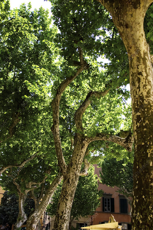Plane trees (Platanus sp.)