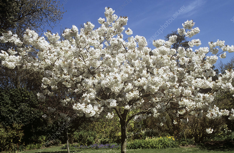 Great white cherry, Prunus 'Tai Haku'