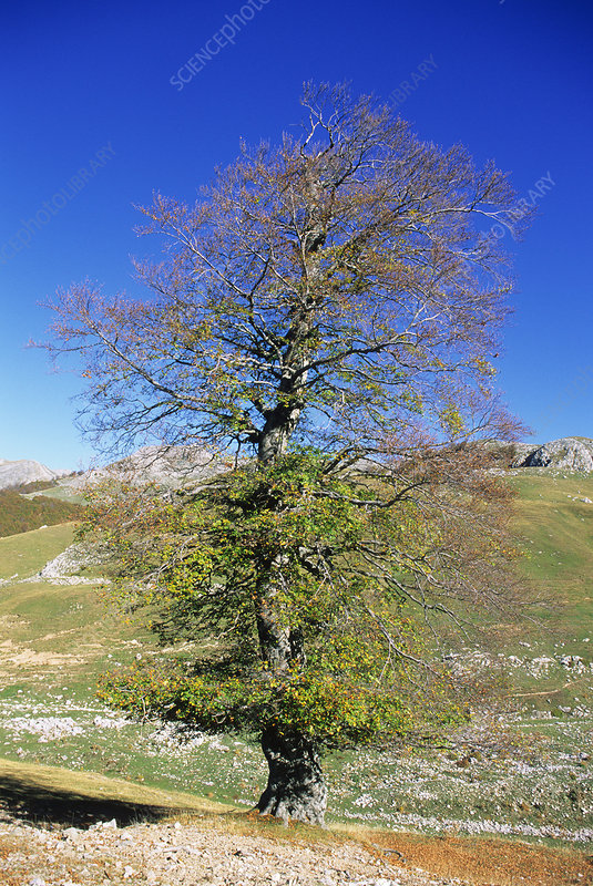 Common beech tree (Fagus sylvatica)