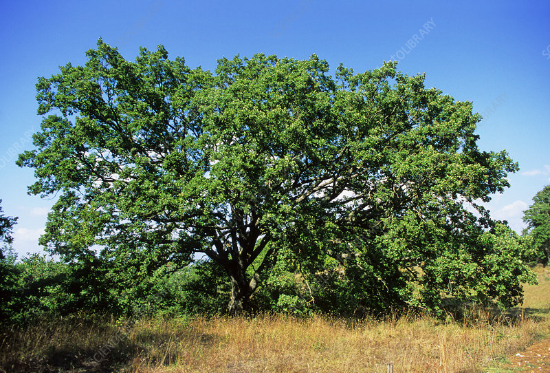 Downy oak tree (Quercus pubescens)
