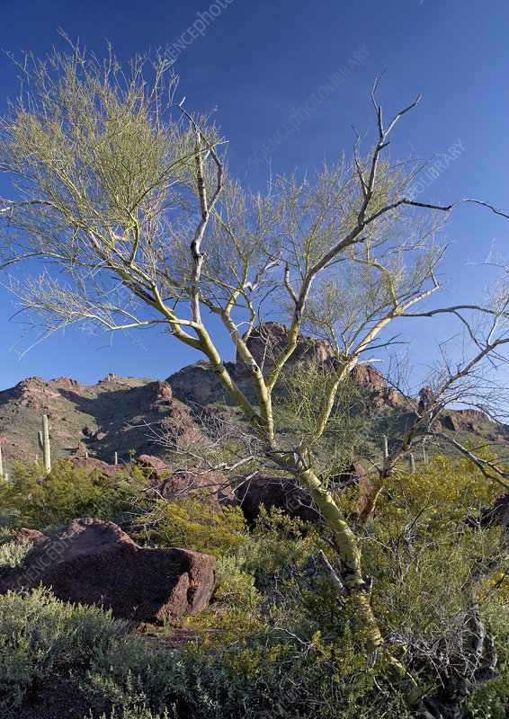 Yellow paloverde,Parkinsonia microphylla