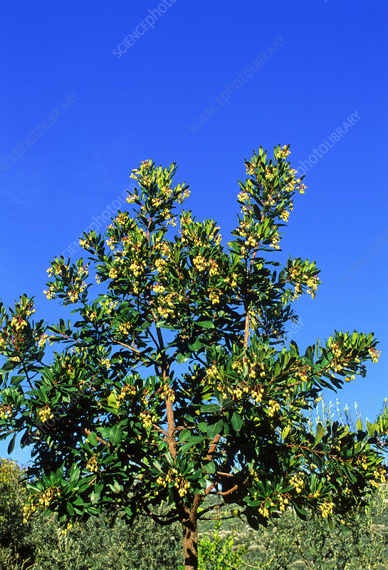 Strawberry tree (Arbutus unedo)