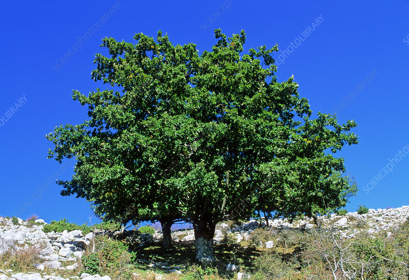 Turkey oak tree (Quercus cerris)