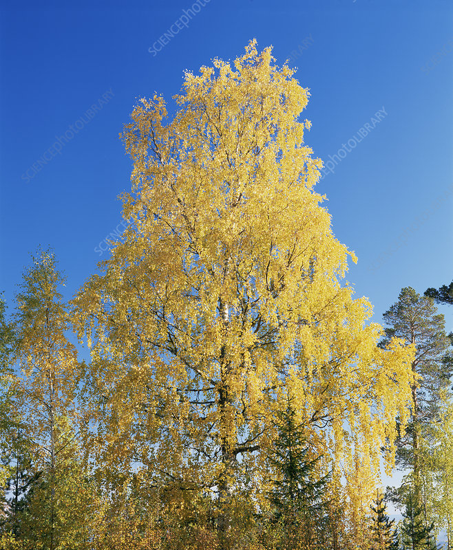Downy birch tree (Betula pubescens)