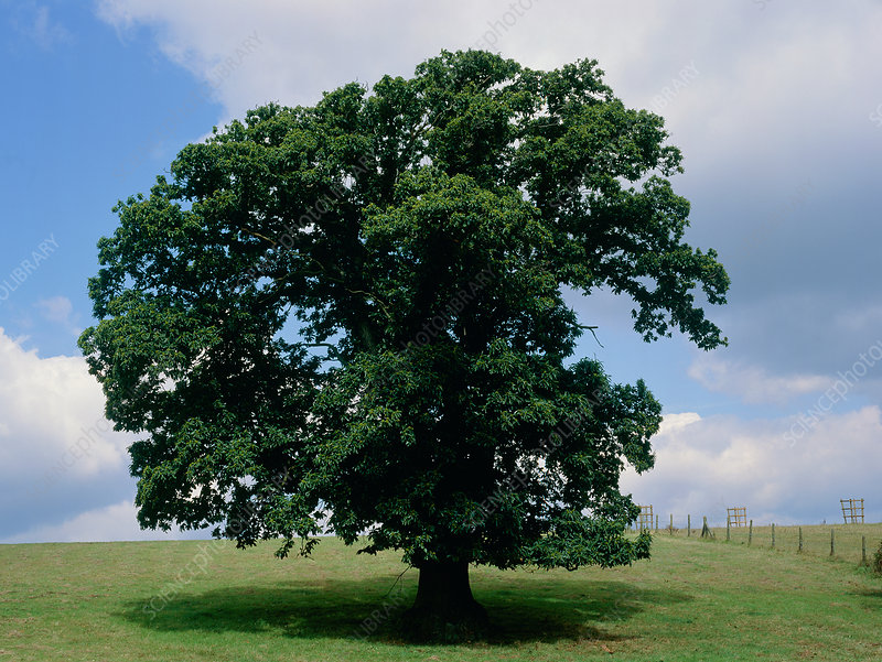 Sweet chestnut tree (Castanea sativa)
