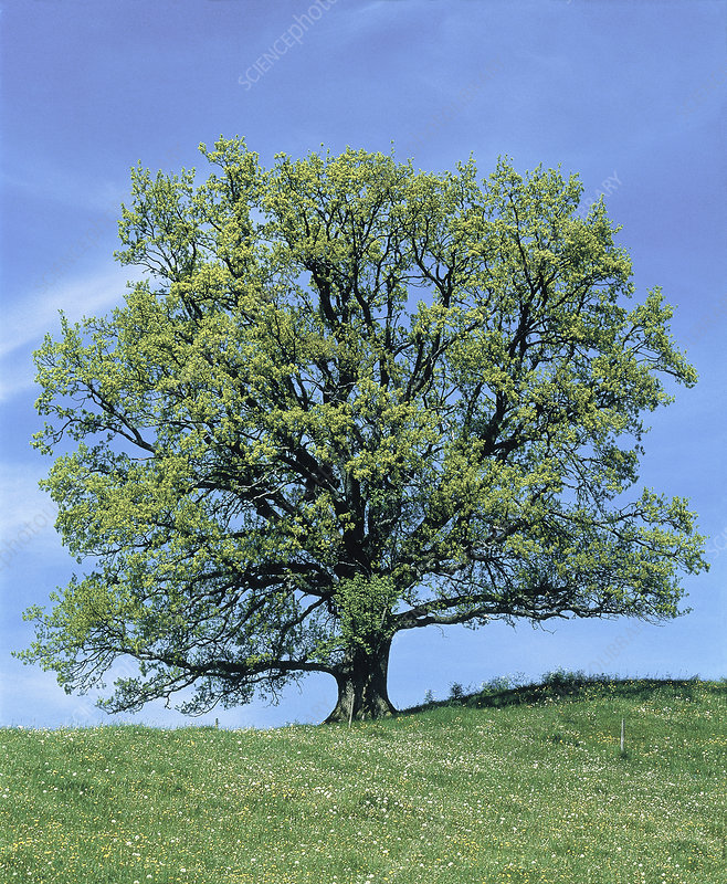 Oak Tree (Quercus robur)