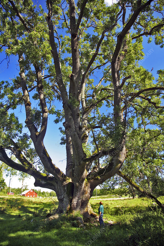 Ancient ash tree (Fraxinus excelsior)