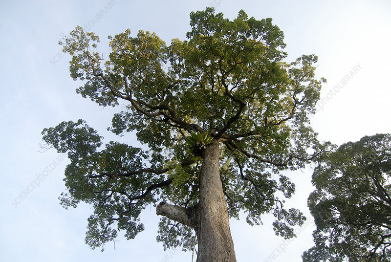Tropical rainforest tree