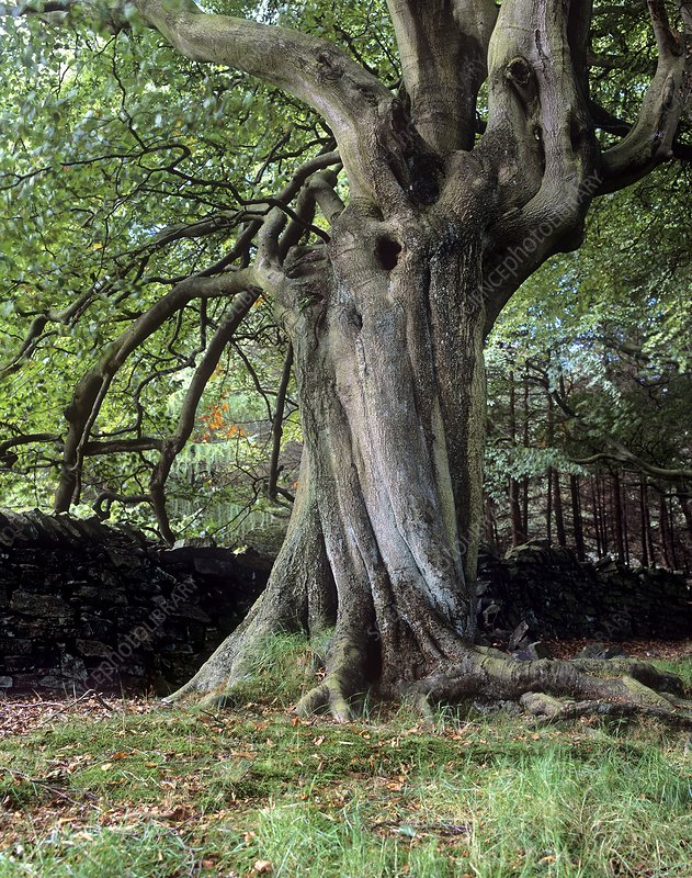 Twisted beech tree (Fagus sp.)