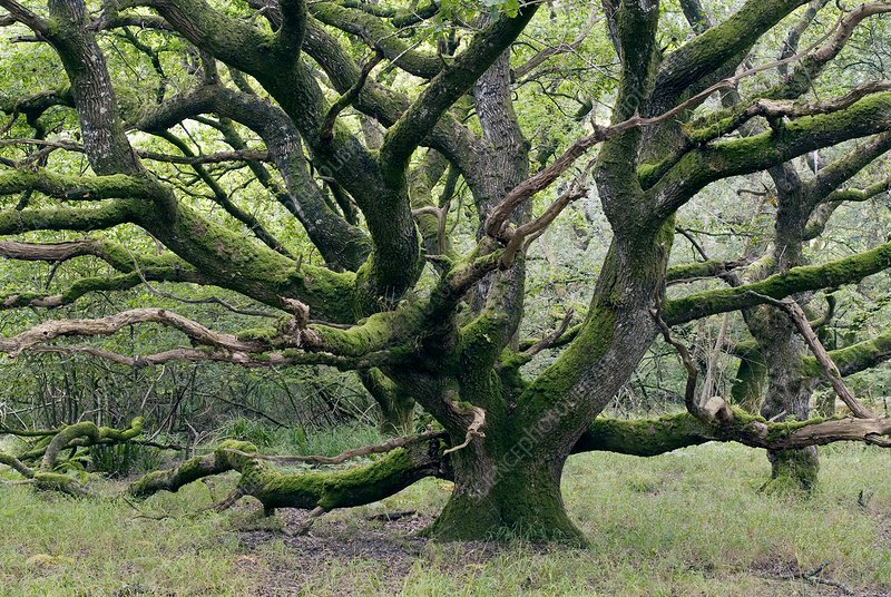 Ancient oak tree (Quercus sp.)