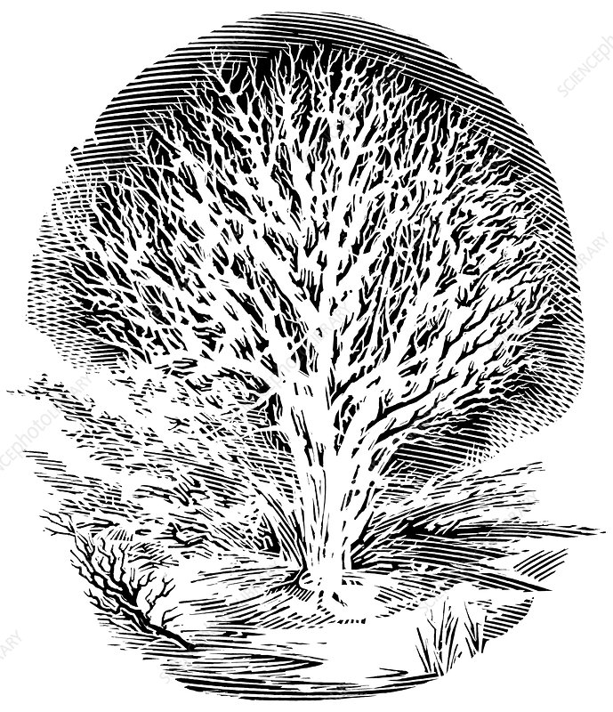 Snow-covered tree, engraving