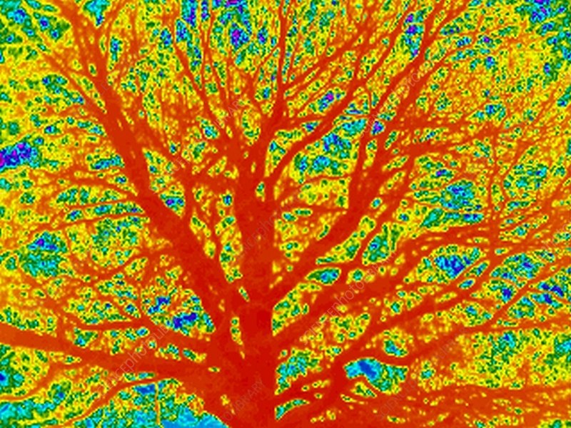 Tree, thermogram