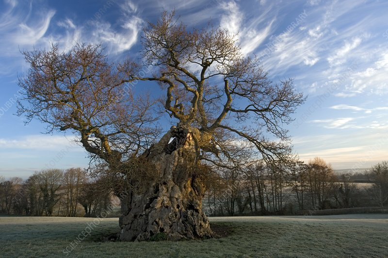 English oak tree (Quercus robur) at dawn