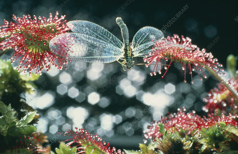 Lacewing caught by sundew plant