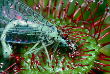 Lacewing caught by Drosera plant
