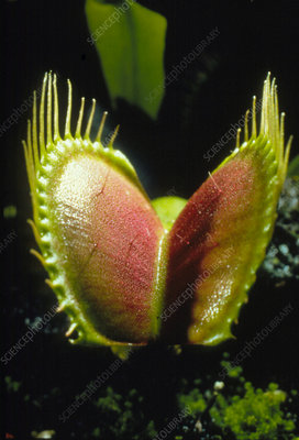 Macrophoto of Venus fly trap plant