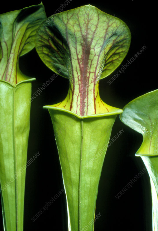 Mature pitchers of pitcher plant