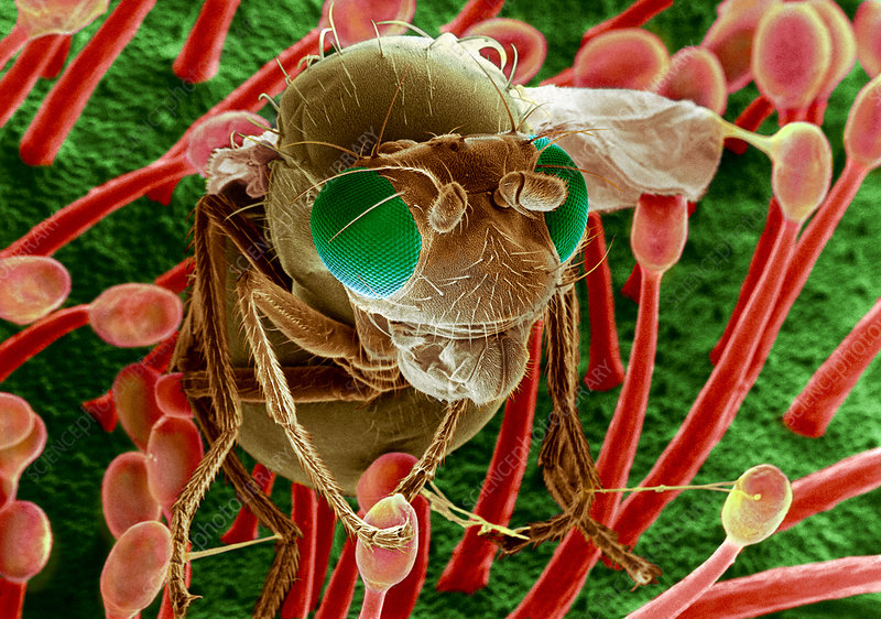 Fly caught in sundew, SEM