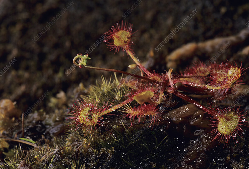 Round-leaved Sundew plants