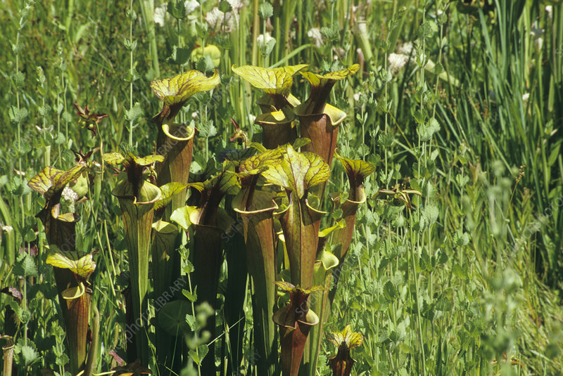 Pitcher plants (Sarracenia purpurea)
