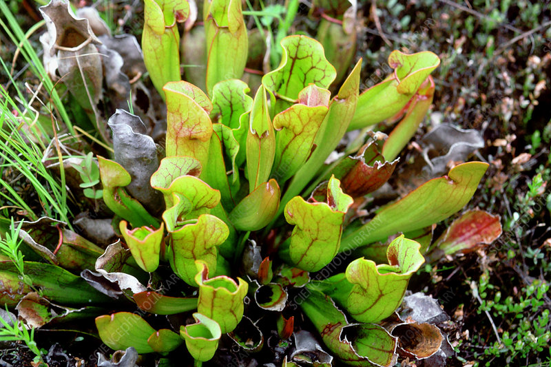 Northern pitcher plant