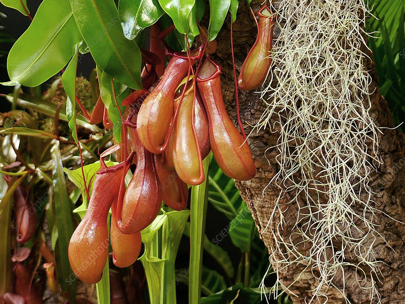 Monkey cup plant (Nepenthes sp.)