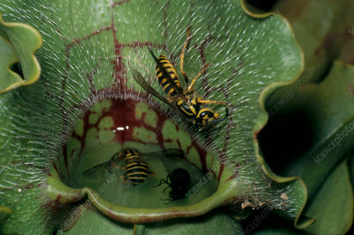 Insects in Pitcher Plant